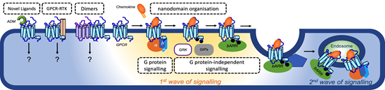 Figure - G protein-(in)dependent signalling and trafficking by GPCR mono/homo/heteromers in nanodomains